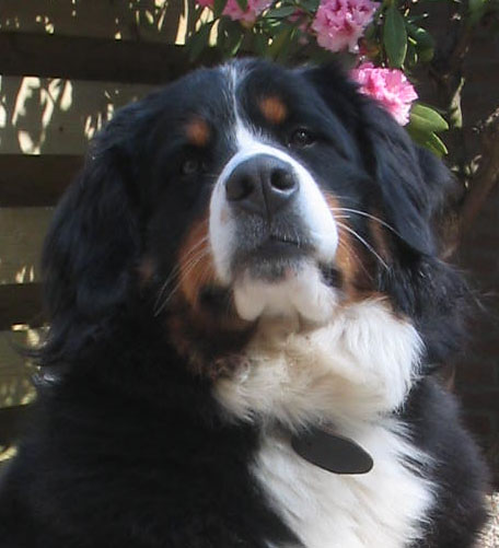 Faith van Bangaïs, Bernese Mountaindog